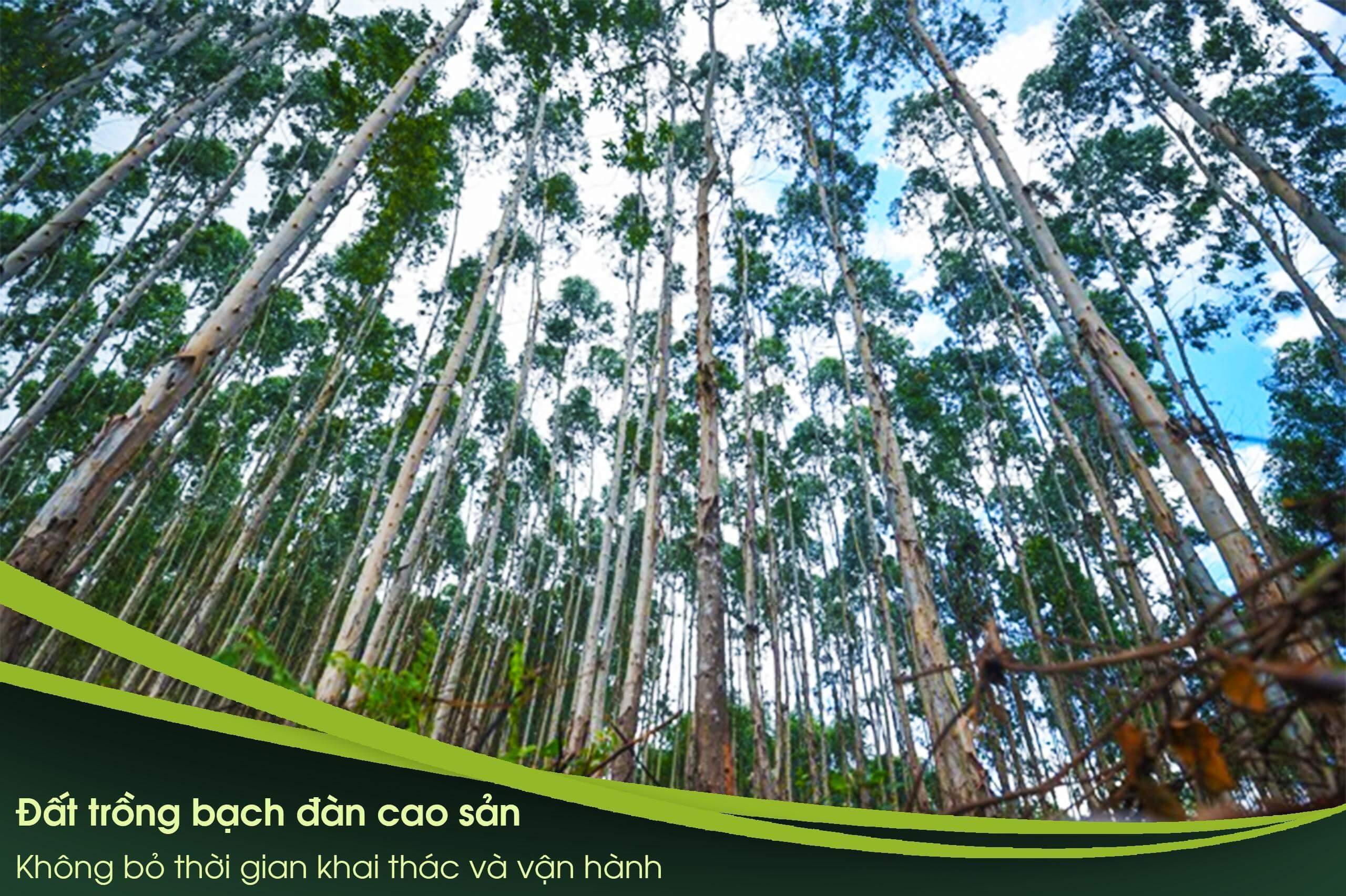 Đất rừng sản xuất trồng Bạch đàn cao sản